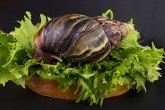 The Achatina snail Royalty Free Stock Photo