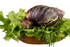 The Achatina snail Royalty Free Stock Photos