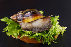 The Achatina snail Stock Images