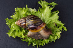 The Achatina snail. Achatina snail eats a green salad leaves Stock Photography
