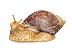 Achatina snail isolated on white. Royalty Free Stock Photo