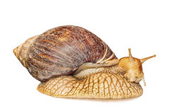 Achatina snail isolated on white background with shadow. Royalty Free Stock Photography