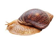 Achatina snail isolated on white background. Royalty Free Stock Photo