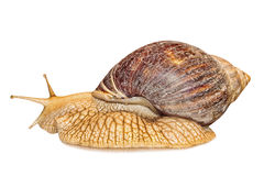 Achatina snail isolated on white background. Stock Photography