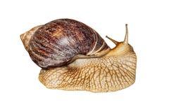 Achatina snail isolated on white background. Royalty Free Stock Image