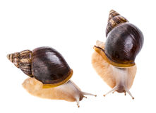 Achatina snail Stock Image