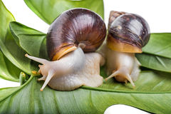 Achatina snail Royalty Free Stock Images