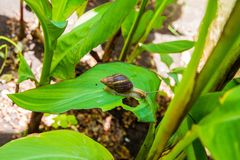 Achatina in a wild African environment stock images