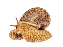 Achatina snail taken closeup isolated on white. Royalty Free Stock Photography