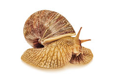 Achatina snail taken closeup isolated on white with shadow. Stock Photography