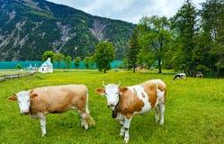 Achensee Sommeransicht und Herde des Viehs (Österreich). Lizenzfreie Stockfotografie