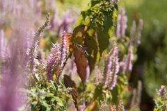 Acherontia atropos fliegt und Getränknektar von den Blumen Lizenzfreie Stockfotos
