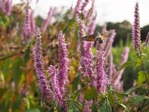 Acherontia atropos fliegt und Getränknektar von den Blumen Stockbild