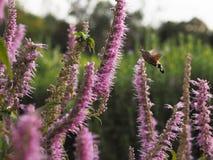 Acherontia atropos fliegt und Getränknektar von den Blumen Lizenzfreies Stockfoto
