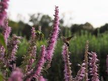 Acherontia atropos fliegt und Getränknektar von den Blumen Stockfotografie