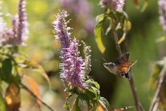 Acherontia atropos fliegt und Getränknektar von den Blumen Lizenzfreie Stockbilder