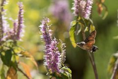 Acherontia atropos fliegt und Getränknektar von den Blumen Stockfoto