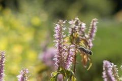 Acherontia atropos fliegt und Getränknektar von den Blumen Stockfotos