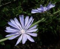 Achicoria Imagen de archivo