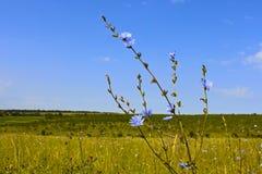 Achicoria de la planta floreciente Fotos de archivo