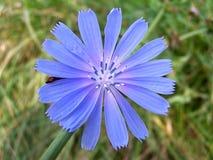 Achicoria salvaje Foto de archivo libre de regalías