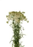 Achilea-millefolium Lizenzfreies Stockbild