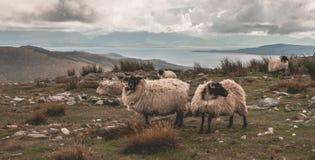 Achill Island Sheep on Minaun. A group of sheep on top of Minaun Hill on Achill Island Stock Photography