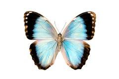 achillaena anakron motyla morpho Obraz Stock