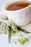 Achillea有花/新鲜的欧蓍草茶的millefolium植物 免版税库存图片