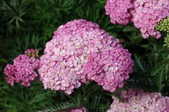 Achillea « Appleblossom » Photo libre de droits