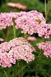 Achillea « Gloria Jean » Images stock