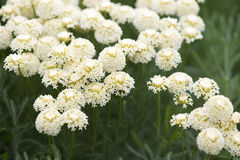 Achillea Royalty Free Stock Photos