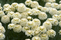 Achillea Stock Photo