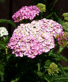 Lilac-pink coloured flowers of yarrow in bloom Stock Photography