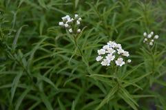 Achillea biserrata - yarrow. Achillea biserrata called yarrow with small whie aromatic flowers stock photos