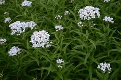 Achillea biserrata - yarrow. Achillea biserrata called yarrow with small whie aromatic flowers stock image