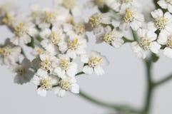 Achillea Blumen Stockfotografie