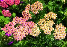 Achillea-Blumenblühen Lizenzfreies Stockbild