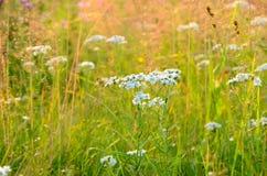 Achillea-cartilaginea Blumen Stockfotografie