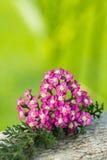 Achillea. Closeup of pink achillea blossoms stock photos