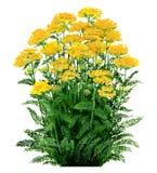 Achillea - colore giallo del millefoglio immagini stock