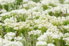 Achillea di fioritura in primavera immagini stock libere da diritti