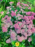 Achillea flowers blooming royalty free stock image