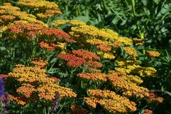 Achillea flowers. Common yarrow achillea flowering - oranges and yellows royalty free stock photo