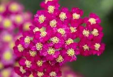 Achillea glaberrima red perennial plant used in landscape design.  royalty free stock photo