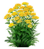 Achillea - jaune de millefeuille Images stock