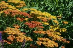 Achillea kwiaty zdjęcie royalty free