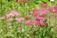 Achillea millefolium Royalty Free Stock Photography