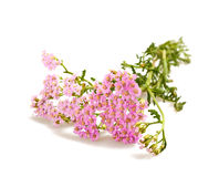 Achillea millefolium Stock Photography