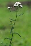 Achillea millefolium Stockfotos